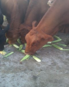 cowcorn
