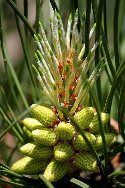 px Loblolly Pine