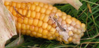 Life as a corn plant is SCARY—Farmers and environmentalists embrace GM Bt corn to ward off pests