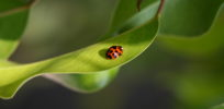 Will pests develop resistance to GMO Bt crops? Not anytime soon, says Cornell study