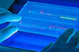 Agarose gel with UV illumination Ethidium bromide stained DNA glows orange close up