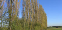 Poplar Trees Bobbingworth Essex geograph org uk