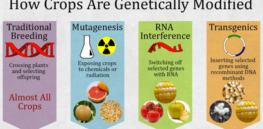 GLP Infographic: How crops are modified--Are GMOs more dangerous?
