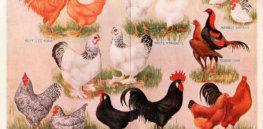 px Chickens