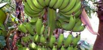 GMO bananas enriched with vitamin A to benefit millions in Africa set for human trials in US