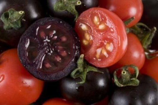 Purple tomato rich in anthocyanins contrasted with regular tomatoes. Image via John Innes Centre