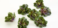 Genetically modified lab-created kale-Brussel sprouts Kalettes embraced by anti-GMO foodies