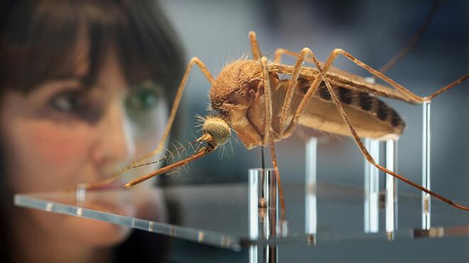 Mosquito Brazil