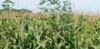Avoid 'failed' GM crop approach to combat 'superweeds'