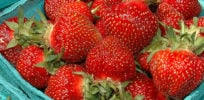 Strawberries and lawsuits: Future of favorite fruit hinges on intellectual property