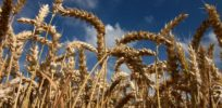 Video: Sequencing of bread wheat genome 'game-changer' for meeting climate change challenge