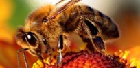 GMOs could save honeybees by eliminating virus and mites