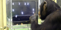 Chimpanzee's highly heritable intelligence window on human IQ
