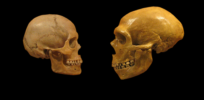 px Sapiens neanderthal comparison en blackbackground