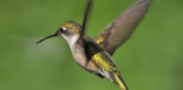 How do hummingbirds find life-sustaining nectar without sweet-taste receptor genes?