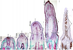 Stained cross sections of an anole's regenerating tail. Dpa stands for days past autotomy (self-amputation). CREDIT: Hutchins et al., PLoS One, via Wired