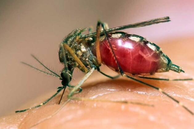 Brazil OKs release of genetically engineered mosquitoes to control dengue virus