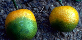 CitrusGreening