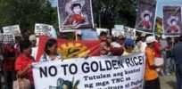 Militant farmers destroy Golden Rice facility