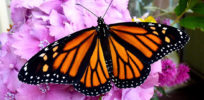 Activists seek endangered status for monarch butterflies, blame pesticides and GMOs