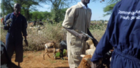 African scientists engineering genetically modified livestock vaccines