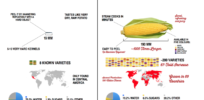 Infographic: How to avoid GMO corn? Turn back the clock 9000 years