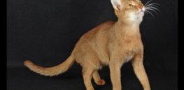 cat cinnamon