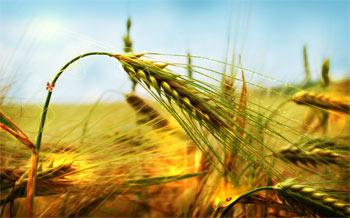 wheat big