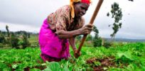 Are African farmers in danger of becoming slaves to patented seeds?