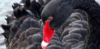 Nassim Taleb is wrong: Black Swan more likely for non-GMO food than GM varieties