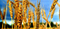 Monsanto perfecting GMO wheat: Are the public and farmers ready?