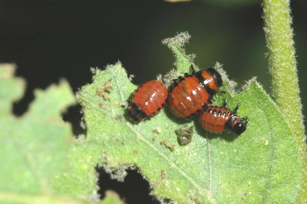 colorado potato beetle on eggplant Copy