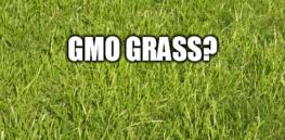 gmo grass
