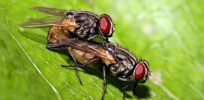 houseflies copulating