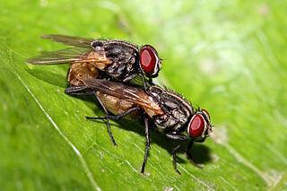 houseflies copulating
