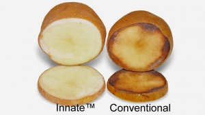 simplot gm potato versus old technology