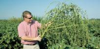 New Superweeds now resist Monsantos Roundup