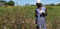Uganda cotton fields blooming large