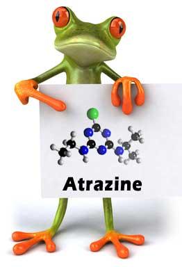 herrmaphrodite frog atrazine