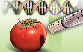 How do you really make a GMO tomato? | Genetic Literacy Project
