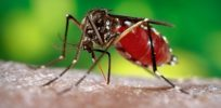 Cayman Islands to employ genetically modified mosquitoes against Zika