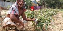 Bangladeshi Bt Brinjal trial fails