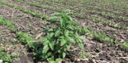 Waterhemp in soybean stubble x