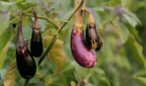 Bt brinjal is a GM crop designed to help farmers reduce pesticides and increase yields.