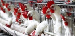 Talking Biotech: GMO opponents block bird flu epidemic solution; Potato biotech