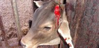 Gene editing could end cruelty to dehorned dairy cows--unless GMO opponents derail it