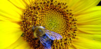 Bees not dying; Europe should lift neonics ban