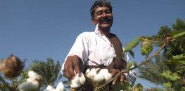 cotton india