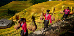 3 ways GMO rice could improve world but tech hurdles and anti-GMO protests block way