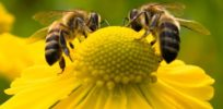 Glyphosate cleared as danger to honey bees